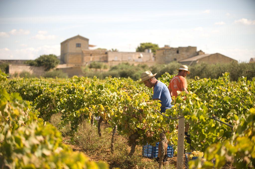 Men working in a Marsala vineyard in Sicily